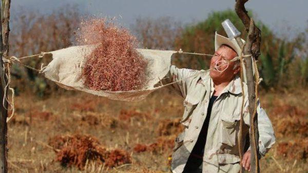 C:\Users\Iván\Pictures\cultivo de amaranto.jpg